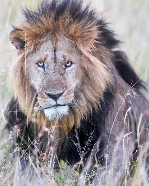 This photograph of a male Lion was captured within the Masai Mara in Kenya, Africa (6/13).   This photograph is protected by the U.S. Copyright Laws and shall not to be downloaded or reproduced by any means without the formal written permission of Ken Conger Photography.