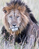 "This photograph of a male Lion was captured within the Masai Mara in Kenya, Africa (6/13).   <FONT COLOR=""RED""><h5>This photograph is protected by the U.S. Copyright Laws and shall not to be downloaded or reproduced by any means without the formal written permission of Ken Conger Photography.<FONT COLOR=""RED""></h5>"