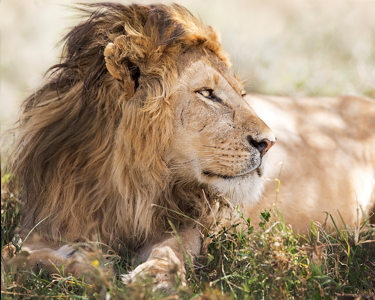 This photograph of a male lion was captured in  Tarangire National Park, Tanzania, Africa (3/15). This photograph is protected by International and U.S. Copyright Laws and shall not to be downloaded or reproduced by any means without the formal written permission of Ken Conger Photography.