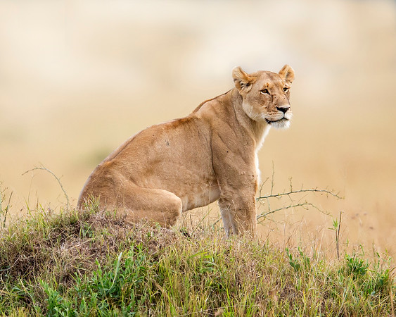 This photograph of an female Lion was captured within the Maasai Mara in Kenya, Africa (3/13).   This photograph is protected by the U.S. Copyright Laws and shall not to be downloaded or reproduced by any means without the formal written permission of Ken Conger Photography.