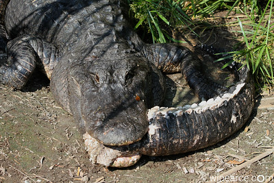 Now that's a Florida Gator... He's havin' him some gator tail for dinner!