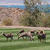 Big Horn Sheep, Boulder City, NV