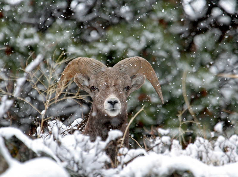 Young Ram,in the snow<br /> Big Thonpsom Canyon,Colorado