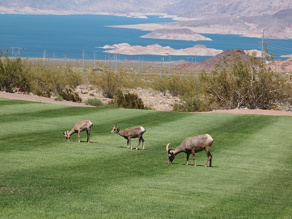 Big Horn Sheep, Boulder City, NV