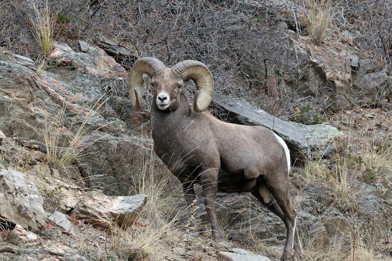 Bighorn Sheep<br /> Big Thompson canyon,Colorado..series