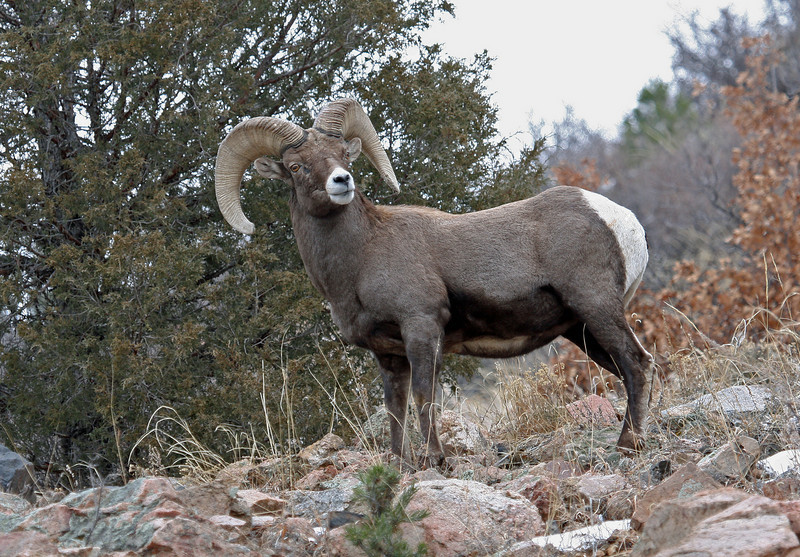 Rocky Mtn Bighorn Sheep<br /> Howard,Colorado