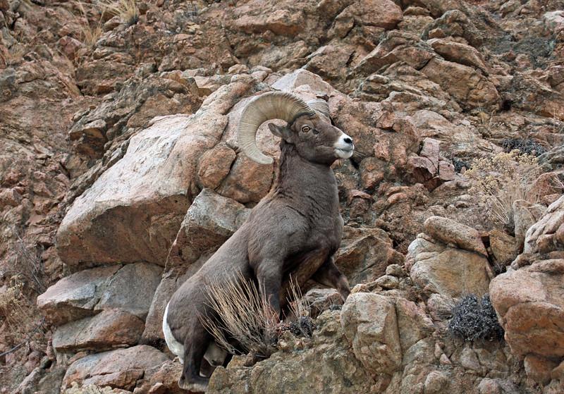 Bighorn Sheep.<br /> Howard,Colorado