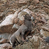 Bighorn Sheep.<br /> Howard,Colorado