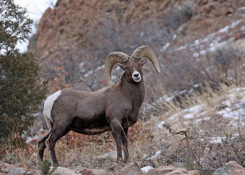Big Horn Sheep.<br /> Howard,Colorado..series