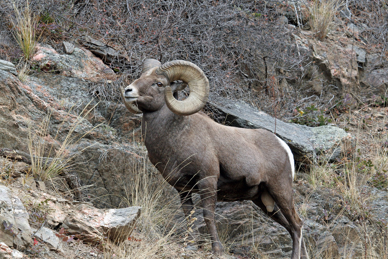 Adult Rocky Mtn Bighorn Sheep.<br /> Big Thompson,Colorado..series