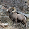 Adult Rocky Mtn Bighorn Sheep.<br /> Big Thompson,Colorado..series
