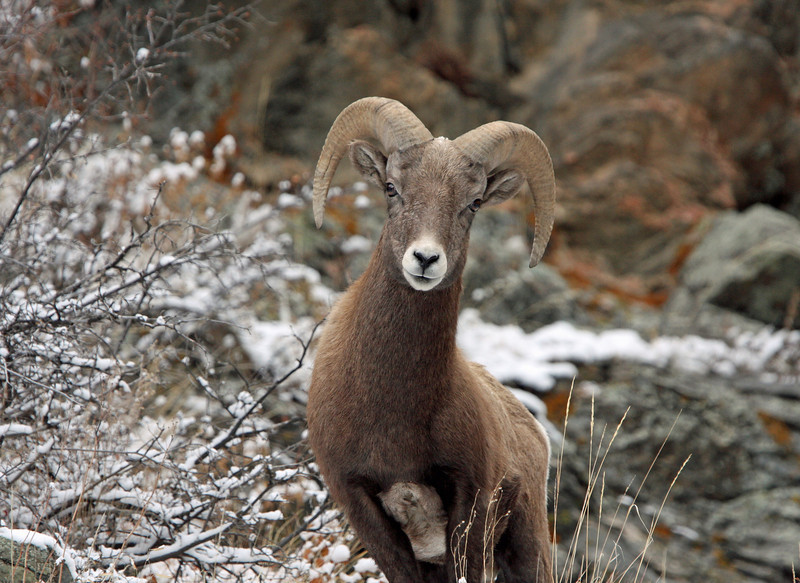 Bighorn Sheep.<br /> Young Ram.<br /> Big Thompson Canyon,Colorado