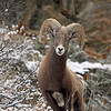 Bighorn Sheep.<br /> Young Ram.<br /> Big Thompson Canyon,Colorado