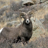 Rocky Mountain Bighorn Sheep.<br /> Rocky Mountain Nat'l Park,Colorado..series