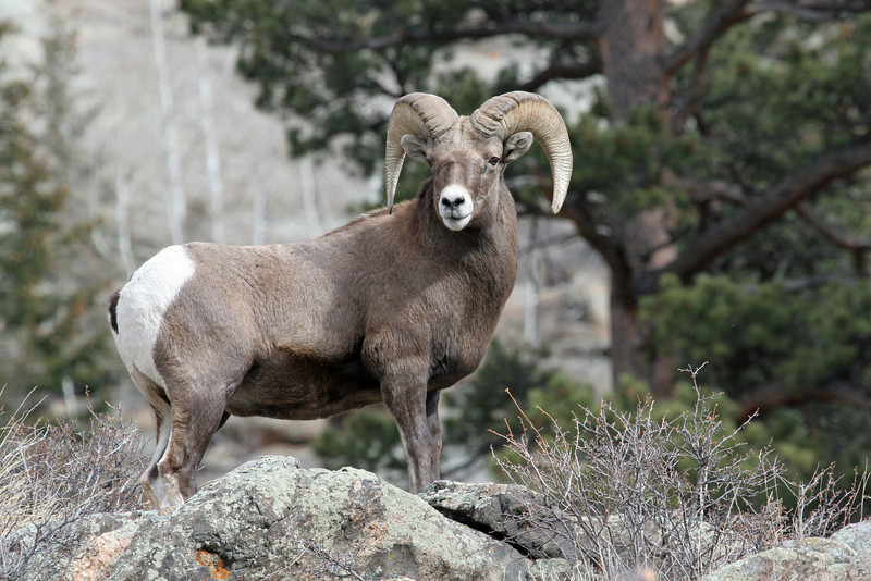 Rocky Mtn Bighorn Sheep<br /> Rocky Mountain Nat'l Park,Colorado..series