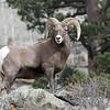 Rocky Mtn Bighorn Sheep<br /> Rocky Mountain Nat'l Park,Colorado..series