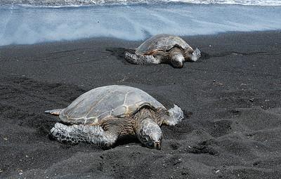 Sea Turtles at Panalu U, black sand beach. h0507_4079