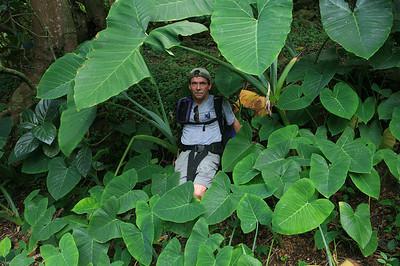 Waipio beach trail and the giant plants d_3556
