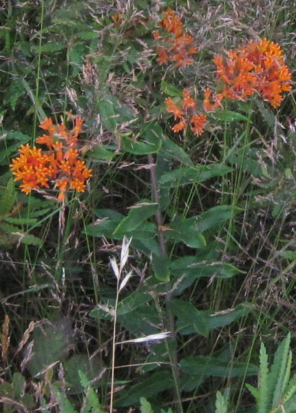 Butterflyweed (Asclepias tuberosa)