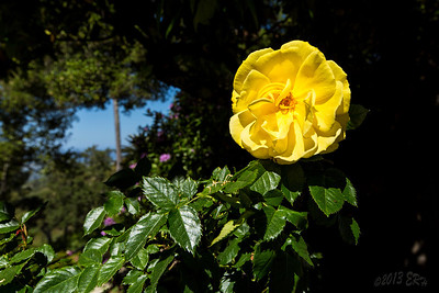 A yellow rose opened to the sun.