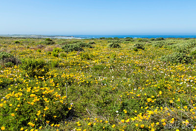 April poppies along the southern reaches of the Big Sur coastline.