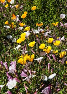 Poppies along the Big Sur coast.