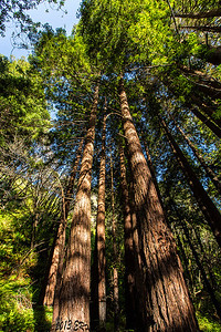 A nice stand of redwoods catching the afternoon light.