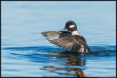 Female Bufflehead decided to show off for the camera.