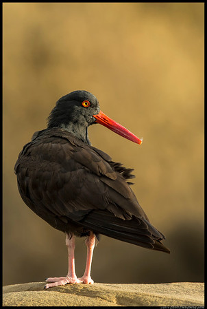After an hour of taking pictures of the Black Oystercatchers in the rain, the sun finally broke through just before sunset and I managed to get a few more closeups.