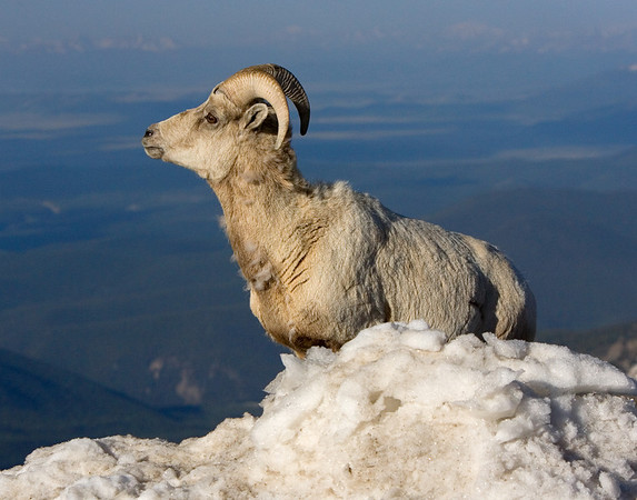 This Bighorn Sheep photograph was captured near the Mt. Evans, Colorado summit area (6/07).