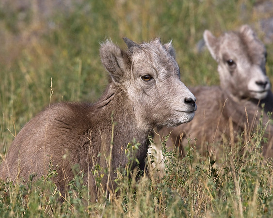 This photograph of Bighorn Sheep lambs was captured in Jasper National Park, Alberta (4/09).  This photograph is protected by the U.S. Copyright Laws and shall not to be downloaded or reproduced by any means without the formal written permission of Ken Conger Photography.
