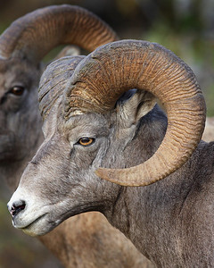 This Bighorn Sheep ram photograph was captured in Banff National Park.  This photograph is protected by the U.S. Copyright Laws and shall not to be downloaded or reproduced by any means without the formal written permission of Ken Conger Photography.