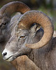 Sheep Gallery : A collection of Big Horn Sheep images.