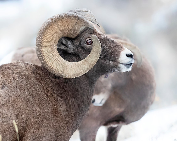 Yellowstone Bighorn Sheep