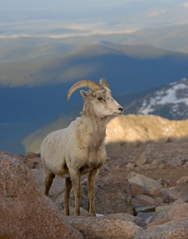 This Bighorn Sheep photograph was captured near the Mt. Evans, Colorado summit area (6/07).   This photograph is protected by the U.S. Copyright Laws and shall not to be downloaded or reproduced by any means without the formal written permission of Ken Conger Photography.