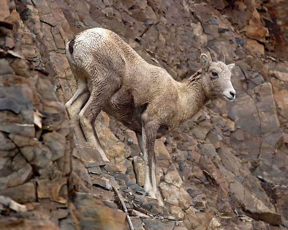This Bighorn Sheep photograph was captured in Banff National Park.  This photograph is protected by the U.S. Copyright Laws and shall not to be downloaded or reproduced by any means without the formal written permission of Ken Conger Photography.