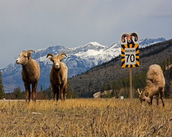 This photograph of a group of Bighorn Sheep grazing along the road was captured in Banff National Park (4/09).  This photograph is protected by the U.S. Copyright Laws and shall not to be downloaded or reproduced by any means without the formal written permission of Ken Conger Photography.