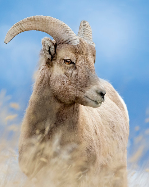 This photograph of a Bighorn Sheep was captured in Yellowstone National Park, Wyoming (1/15). This photograph is protected by the U.S. Copyright Laws and shall not to be downloaded or reproduced by any means without the formal written permission of Ken Conger Photography.
