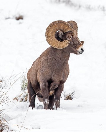 This photograph of a Bighorn Sheep was captured in Yellowstone National Park, Wyoming (1/14). This photograph is protected by the U.S. Copyright Laws and shall not to be downloaded or reproduced by any means without the formal written permission of Ken Conger Photography.
