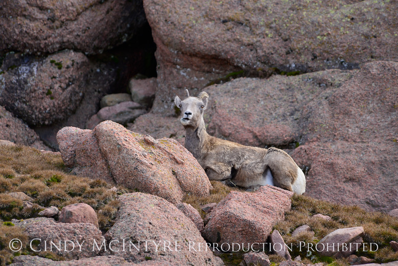 Rocky Mt Bighorn Sheep, Pikes Peak CO (47)