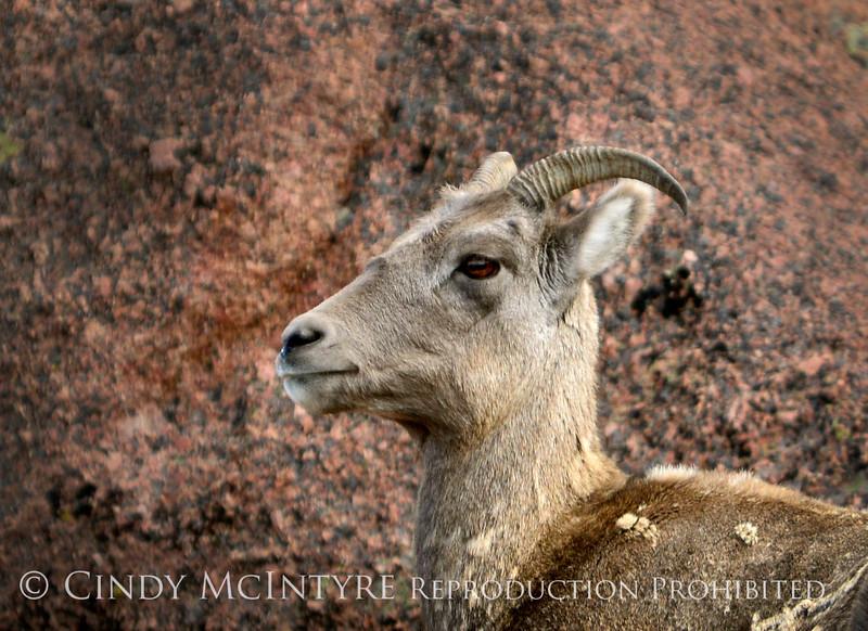 Rocky Mt Bighorn Sheep, Pikes Peak CO (26) copy 3