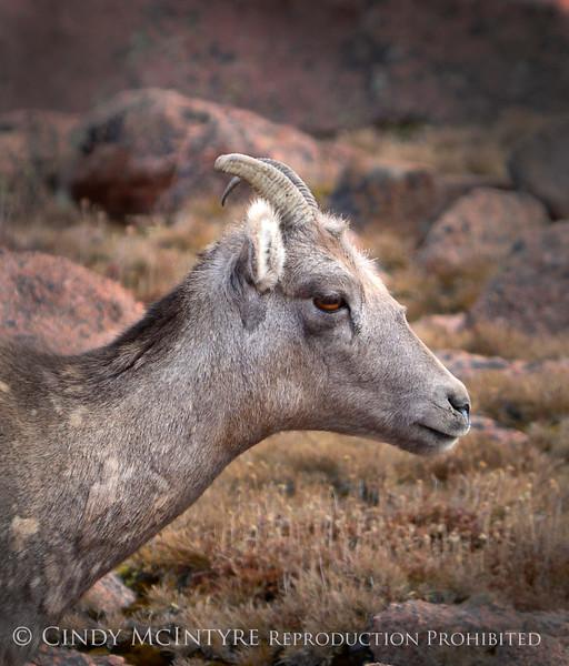 Rocky Mt Bighorn Sheep, Pikes Peak CO