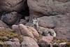 Rocky Mt Bighorn Sheep, Pikes Peak CO (45)
