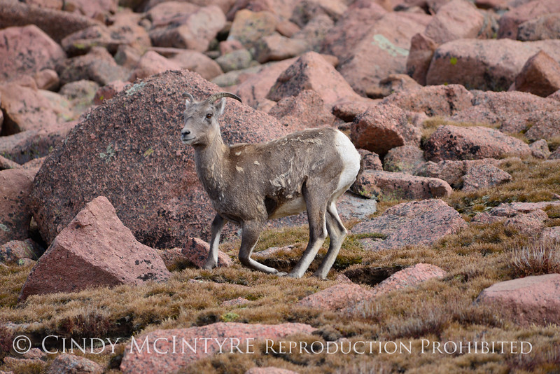 Rocky Mt Bighorn Sheep, Pikes Peak CO (29)