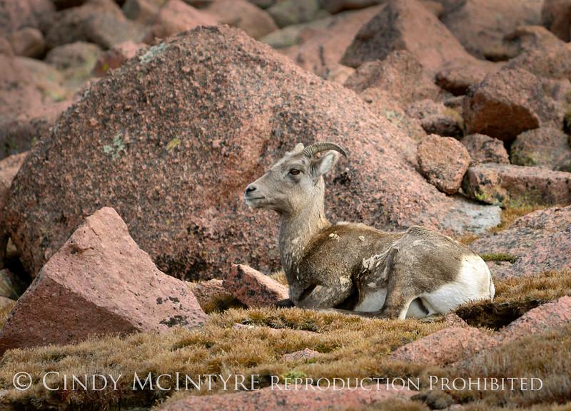 Rocky Mt Bighorn Sheep, Pikes Peak CO (26)