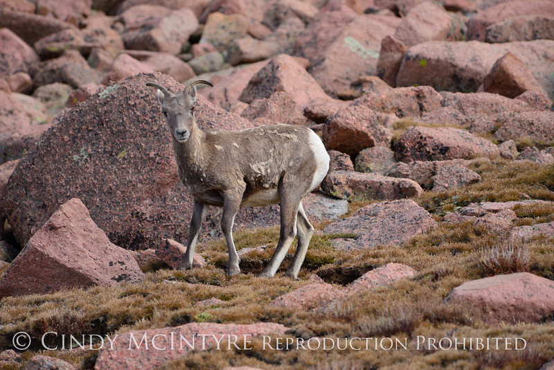 Rocky Mt Bighorn Sheep, Pikes Peak CO (30)