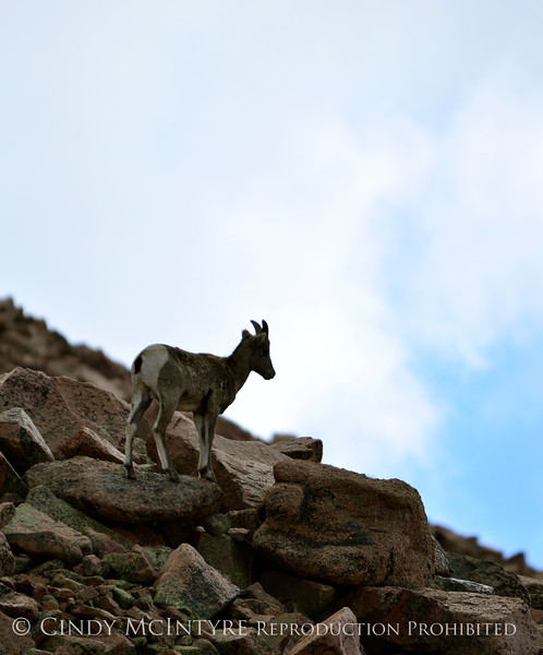 Rocky Mt Bighorn Sheep, Pikes Peak CO (53)