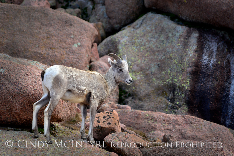 Rocky Mt Bighorn Sheep, Pikes Peak CO (2)
