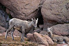 Rocky Mt Bighorn Sheep, Pikes Peak CO (8)