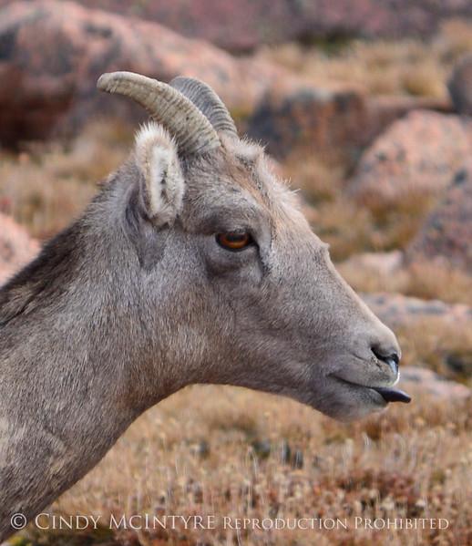 Rocky Mt Bighorn sheep sticking tongue, Pikes Peak CO